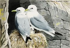 Robert Gillmor (1936-) Kittiwakes (Rissa tridactyla), c.1970s. A keen ornithologist Robert Gillmor is an accomplished British wildlife artist, known for his fine depictions of bids. A popular and influential artist his work has been reproduced in many books and displayed in exhibitions.