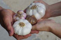 Growing Herbs Indoors, Growing Vegetables, Garlic Uses, Grow Garlic, Planter Ail, Harvesting Garlic, Planting Garlic, Garlic Health Benefits, Herb Garden In Kitchen