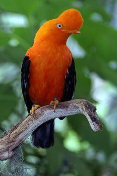oerwoud vogels - Google zoeken