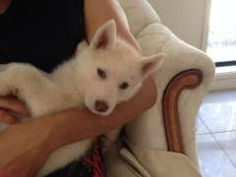 Husky Puppies For Sale, Siberian Husky Puppies, Husky Puppy, Cream Colour, Fleas, Dog Breeds, Personality, Change