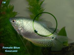 Gourami Fish Male vs Female | im sure they are females heres one of the females