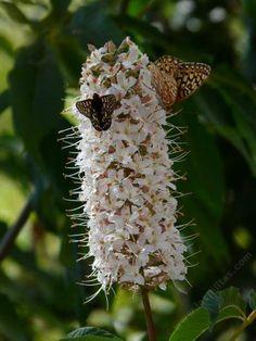 Aesculus californica California Buckeye and Horse Chestnut white native garden flower