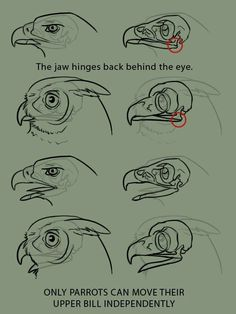 """Anatomy Drawing Reference xenozombiemorph: """" supaslim: """" because it is the bane of my existence to see artists who don't even TRY to get bird anatomy right, when they'll gladly put forth the effort to learn mammalian. Drawing Techniques, Drawing Tips, Drawing Sketches, Drawing Art, Drawing Ideas, Bird Drawings, Animal Drawings, Anatomy Reference, Drawing Reference"""
