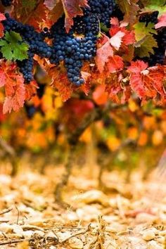 Colori di #vendemmia #umbertocesari #grapes #vineyard