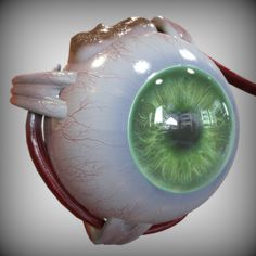 model: model of the human eye complete with high resolution maps, modeled in Maya with proper naming,hierarchy, uv and good topology. The model is scaled Vertex count for Cinema 30100 . Eye Anatomy, Gross Anatomy, Human Anatomy, Anatomy Models, Anatomy For Artists, Human Eye, Human Body, Cone Cell, The Retina