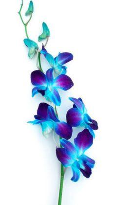 Blue Orchids, Blue Roses, Flowers, Plants, Beautiful, Plant, Royal Icing Flowers, Flower, Florals