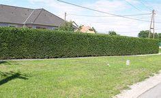 Télizöld Fagyal Ligustrum ovalifolium Sárgatarka levelű fagyal - Ligustrum ovalifolium Aureum Fagyal sövény ültetés Ültetési idő