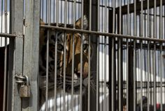 14 Reasons Lions And Tigers Don't Belong In The Circus. preach. @blackjaguarwhitetiger