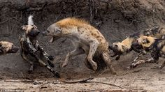 Fighting back: A hyena had the last laugh after escaping the clutches of a snarling pack of wild dogs having been cornered near a river