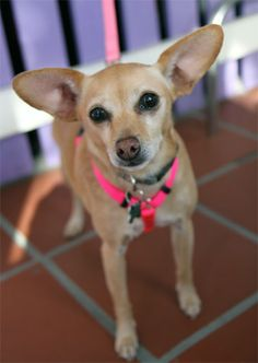 MANDY!! <3 <3 Senior • Animal Friends Rescue Project; Pacific Grove, CA. Looking for a lap dog? Super sweet 9 yr, 12 lb Chi X happy as a clam when snuggled w/ her person! Adopted in 2007 & recently returned to our care when her guardian could no longer care for her. She's an easygoing, well behaved dog & not a yapper. Walks nicely on leash & house trained. Mandy is very compatible w/ Dogs & loves people! She'd love to spend her golden years w/ you! Feb 13, 2015. Pet ID: 8250692-D150041