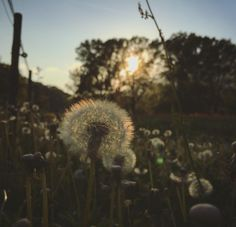 A field with full dandelion flower. Taraxacum Officinale, Dandelion Flower, All Pictures, Flowers, Plants, Royal Icing Flowers, Flower, Florals, Plant