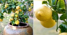 Faire pousser un citronnier. C'est gratuit, c'est amusant et c'est joli!