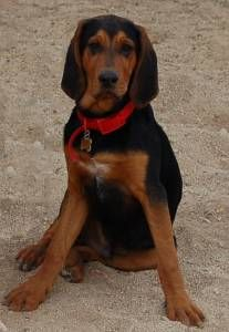 Black and Tan Coonhound MIXED WITH WHAT?! :