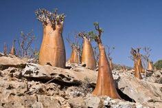The Cucumber tree (Dorstenia gigas) is endemic to Socotra Island, Yemen.