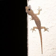 #nocturnal #infant #gecko #photo #haiku: we think it's funny  you talk about a dark night  and we live for them  # #life #poetry #prose #nature #darkness #embrace the #contrast