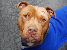 GONE - 03/28/15 Manhattan Center - P  My name is JET. My Animal ID # is A1030050. I am a male brown pit bull mix. The shelter thinks I am about 2 YEARS old. For more information on adopting from the NYC AC&C, or to  find a rescue to assist, please read the following: http://urgentpetsondeathrow.org/must-read/
