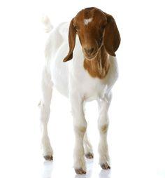 Check out Goat Breeds [Chapter 1] Raising Goats - Homestead Handbook at http://pioneersettler.com/goat-breeds-raising-goats/