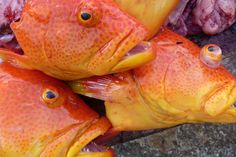 Pitcairn Island. Coral Trout Fafaia.  2012 Pitcairn Islands, Trout, Coral, Fish, Brown Trout, Pisces