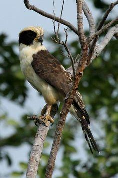 Foto acauã (Herpetotheres cachinnans) por Stéphane Passera | Wiki Aves - A Enciclopédia das Aves do Brasil