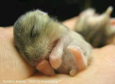 Exceptionally Cute and Cuddly Baby Animals Photo baby hamsterbaby hamster Baby Chipmunk, Baby Hamster, Cute Baby Animals, Animals And Pets, Funny Animals, Anime Animals, Animals Images, Hamster Russe, Cute Hamsters