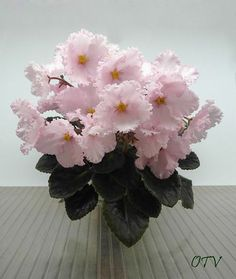 """African Violet """"Prima Pink"""" Place in east facing window. More care tips at: https://www.houseplant411.com/houseplant/african-violet-grow-care"""