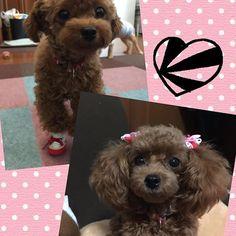 * 耳の毛が長いくぅーちゃんと 短い毛のくぅーちゃんどっちが可愛いかなぁー?? * * #プードル#トイプードル#ティーカッププードル#トイプードルレッド#犬#親バカ#犬ばか部#犬バカ部#かわいい#愛犬#いぬ#ふわもこ部 #dog#dogs#pet#cute#animal#love#family#instadog#lovedog#lovemydog#cutedog#instapoodle#poodle#poodles#toypoodle#doglover#dogphotography #dogstagram