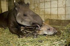 Zuid-Amerikaanse tapir komt vrijdag 19 april om 6.45 uur in Burgers Zoo ter wereld en overleeft zware bevalling dankzij reanimatie door dierverzorgster