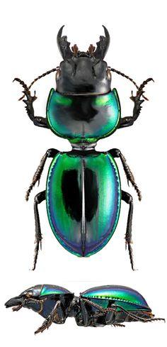 Carenum virescent – Carabidae