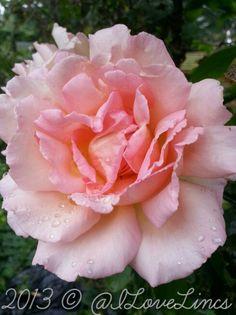 Rosa 'Compassion' in the rain