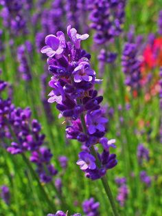 Lavender's native range now extends across the Canary Islands, North and East Africa, south Europe and the Mediterranean, Arabia, and India. The herb has been used in bathing rituals for thousands of years, beginning with the Persians. Get Lavender Maillette essential oil here: http://www.floracopeia.com/Store/Essential-Oils/Lavender-Maillette-Essential-Oil.html #lavender #essentialoil #essentialoils #aromatherapy