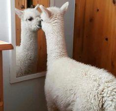 Alpaca Funny, Cute Alpaca, Llama Alpaca, Baby Alpaca, All Animals Pictures, Llama Pictures, Cute Animal Photos, Cute Pictures, Animal Pics
