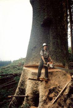 log Tree Logs, Old Trees, Giant Tree, Big Tree, Stihl Chainsaw, Lumber Mill, Logging Equipment, Historical Photos, Tree Of Life