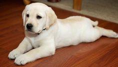Jack the Labrador Retreiver