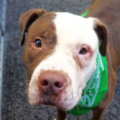 JR SMITH aka LUCKY - A1065947 - - Manhattan Please Share: TO BE DESTROYED 03/05/16 A Volunteer Writes: Lucky is named for his future, at least that's what we are comforting ourselves, all of us who have fallen hard for this amazing dog. (And there are many, many, many of us.) This gorgeous boy has the sweetest temperament a dog could possibly have; extremely friendly without ever being over-enthusiastically rude (we can see him being so happy with small children, and