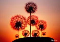 "Dandelion Flowers.. - <p><a href=""https://www.facebook.com/ismailbilir.400""><img src=""http://www.ismailbilir.com/ismail_bilir/facebook.png""></a> <a href=""https://www.instagram.com/ismail_bilir40/""><img src=""http://www.ismailbilir.com/ismail_bilir/instagram.png""></a> <a href=""https://twitter.com/ismailbilir40""><img src=""http://www.ismailbilir.com/ismail_bilir/twitter.png""></a> <a href=""http://www.ismailbilir.com""><img src=""http://www.ismailbilir.com/ismail_bilir/ismailbilir.png""></a> <a…"