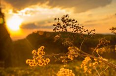 🔝 New free photo at Avopix.com - White Petaled Flowers at Golden Hour    🆓 https://avopix.com/photo/34874-white-petaled-flowers-at-golden-hour    #landscape #grass #field #sky #summer #avopix #free #photos #public #domain