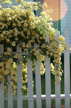 Lady Banks Rose- pale yellow, thornless, drought tolerant (for a rose), sun or partial shade.