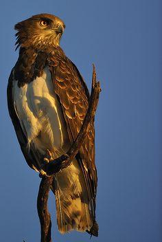 ☀snake eagle
