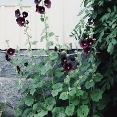 Svart stockros! #emmavonbromssengarden Porch Garden, Garden Plants, Black Garden, Black Flowers, Growing Flowers, Dream Garden, Garden Projects, Garden Inspiration, Flower Pots