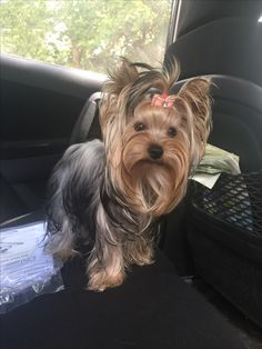 The Hottest Hairstyles for Your Dogs Yorkie Dogs, Puppies And Kitties, Cute Puppies, Cute Dogs, Doggies, Animals And Pets, Cute Animals, Yorkie Haircuts, Dog Suit
