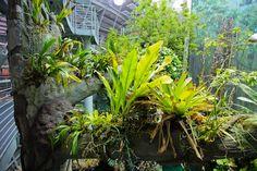 Epiphytes - California Academy of Sciences has som great photos!