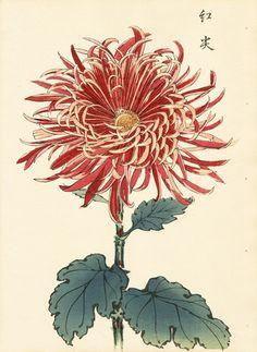Red and Pink Chrysanthemum - Keika Hasegawa (active Japanese Chrysanthemum, Japanese Flowers, Chrysanthemum Flower, Botanical Drawings, Botanical Prints, Japanese Prints, Japanese Art, Flower Prints, Flower Art