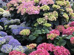 Stell av Hortensia - Få en bugnende Hortensia med våre tips Hydrangeas, Tips, Plants, Google, Plant, Hydrangea Macrophylla, Planets, Counseling
