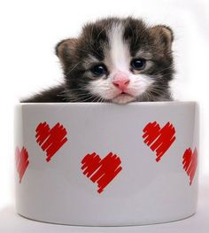 Darling kitten in a cup! #animals #cats #kitten.  Cute Cats and Kittens | Cat Pictures and Videos
