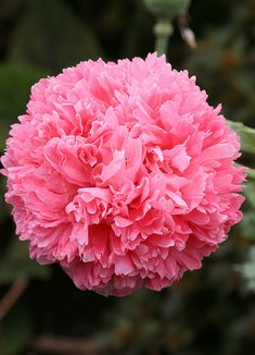 Papaver 'Pink Peony' by anniesannuals, via Flickr