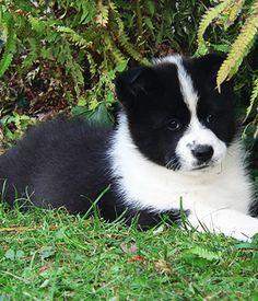 Korean Jindo Dog puppy