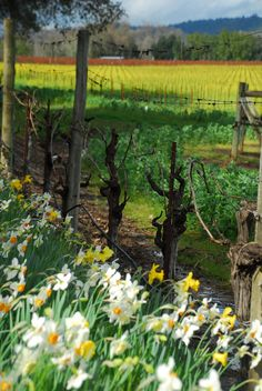 Dry Creek Valley in the Spring  Healdsburg, CA