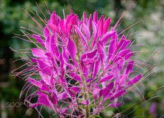 Spider Flower by Kenny Kennford on 500px