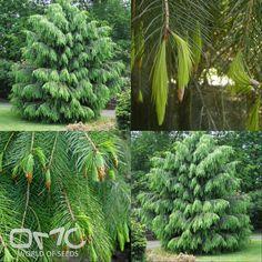 WEST HIMALAYAN SPRUCE (Picea Morinda smithiana) 25+ seeds