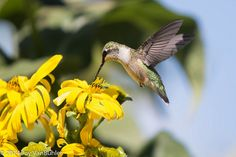 36/52-2: Hummingbird